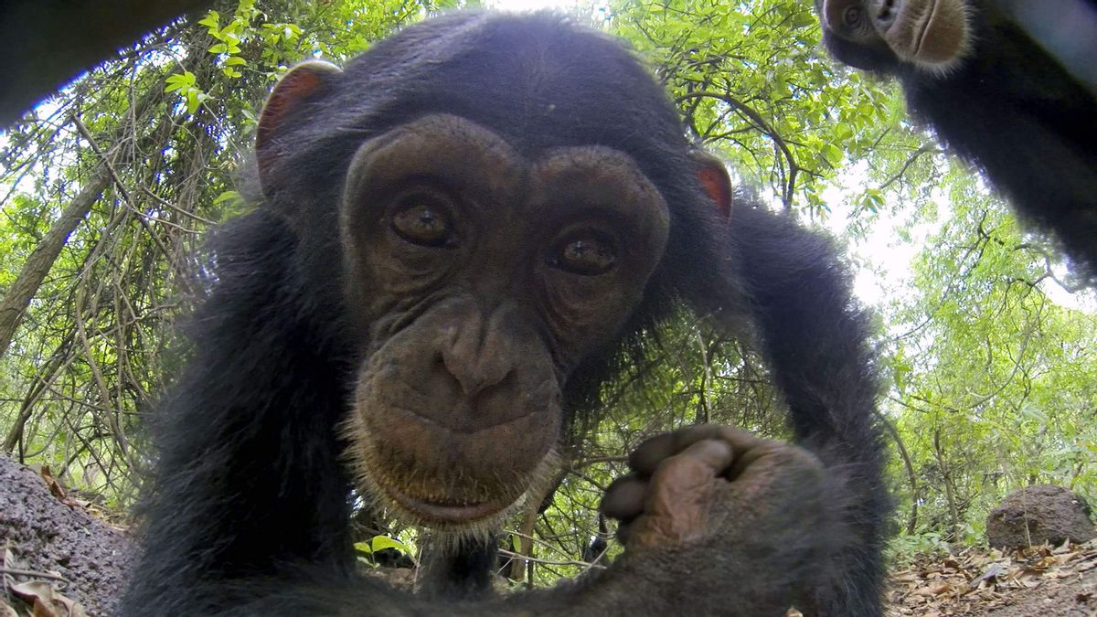 spy in the wild - chimpansee